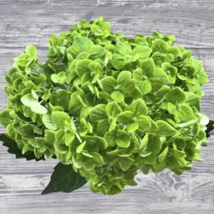 wholesale hydrangea flowers